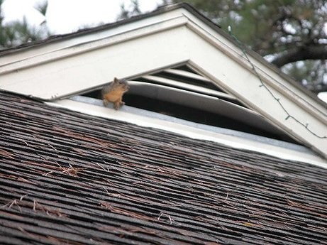 Squirrels Cavorting in the Attic Central VA Roofing Contractor