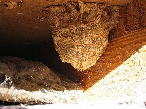 Wasp Nest in Attic Central VA Roofing Contractor